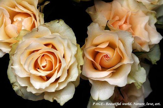 Eu já falei que gosto de rosas?