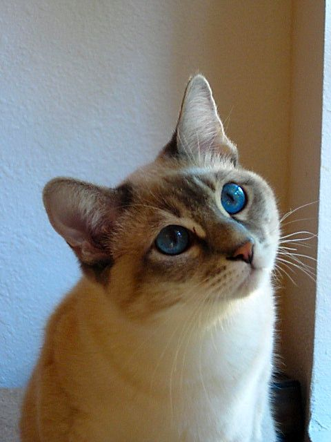 Lynx Point Siamese kitten- I have a lynx point and a seal ...
