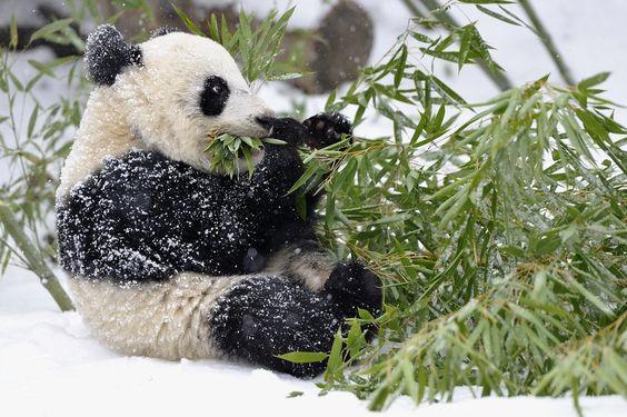 panda om nom nom