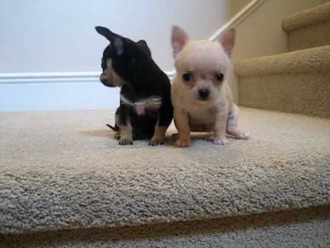 Chihuahua Puppies Play With The Hand Teacup Chihuahua Puppies