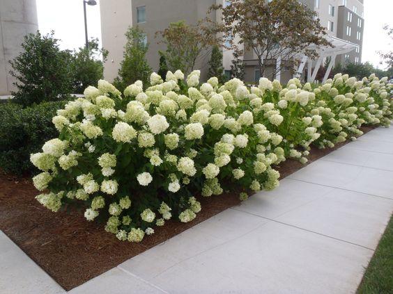 hydrangea paniculata limelight flfm1 080513. Black Bedroom Furniture Sets. Home Design Ideas