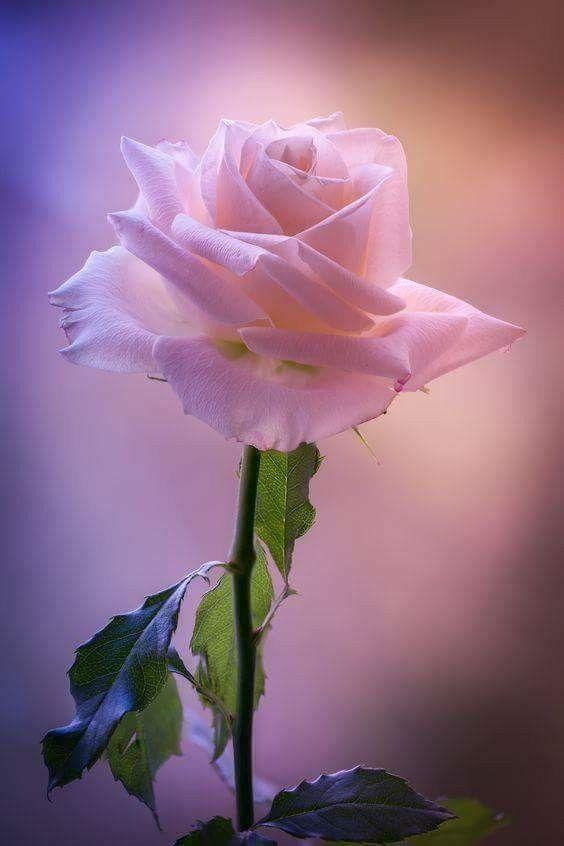 خاطبوا القلوب برفق ففي كل قلب توجد زهرة تنمو وتزهر بنسيم العبارات التى تلمس وتر القلب Beautiful Pink Roses Beautiful Roses Beautiful Flowers