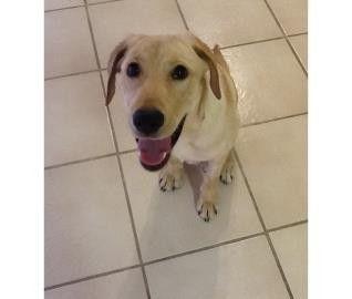 Largo, FL - Labrador Retriever. Meet Maggie, a dog for adoption. http://www.adoptapet.com/pet/11290348-largo-florida-labrador-retriever