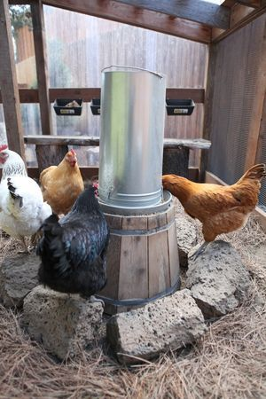 Keeping clean water for chickens