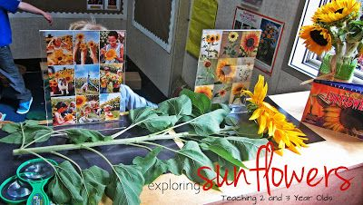 Teaching 2 and 3 Year Olds: PRESCHOOL SCIENCE: EXPLORING SUNFLOWERS