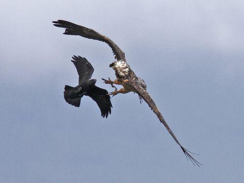 White necked raven and a lammergeier