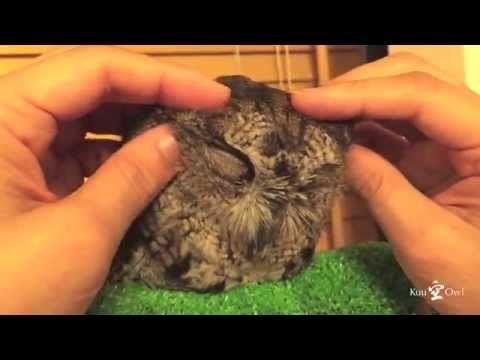 kuu owl loves a massage. Relaxation style of the owl, duck sleeping ニシアメリカオオコノハズクのくうちゃん、マッサージが大好きです。 アヒル寝状態(フクロウのリラックス姿勢)でマッサージ受けてます。