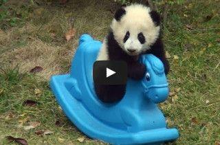 A Panda On A Rocking Horse