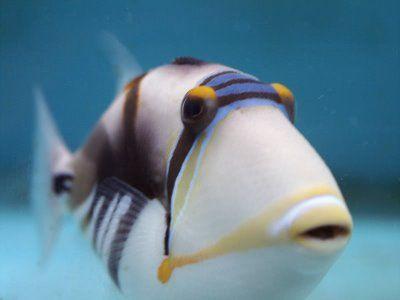 Google Image Result for http://1.bp.blogspot.com/_ckBlasgNSzg/SmpOHEHM43I/AAAAAAAANl0/g_VUVch022A/s400/Huma+Huma+triggerfish.jpg