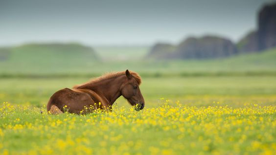 Icelandic Horse by Milan Zygmunt on 500px