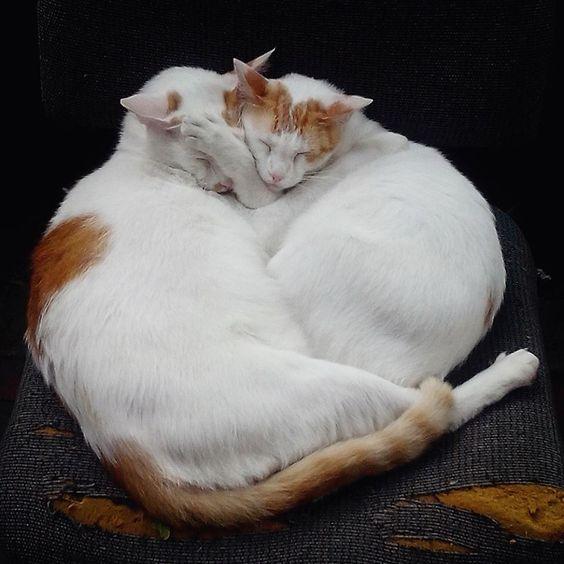 gatos em amor siamês lapa, rio de janeiro, 2014