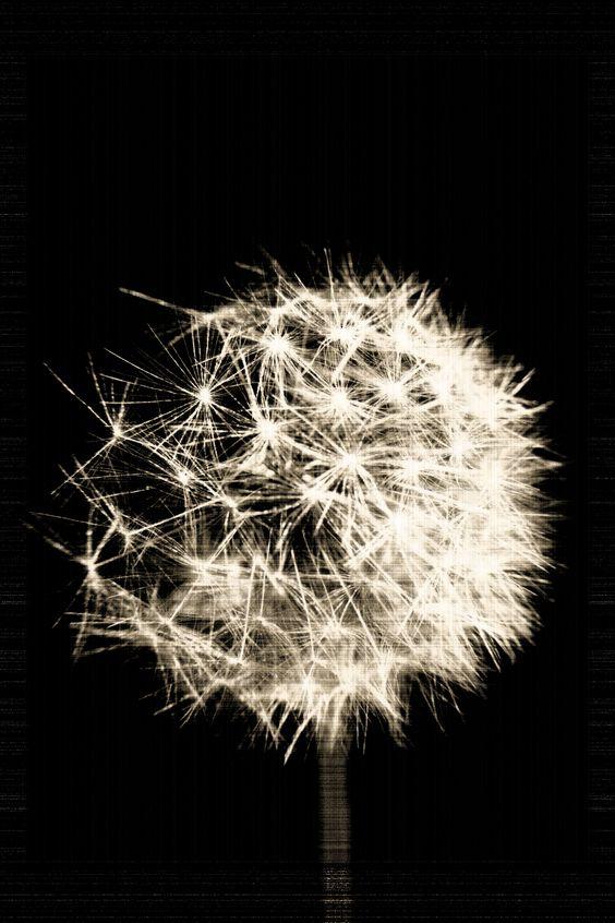 dandelion black and white maarten smit