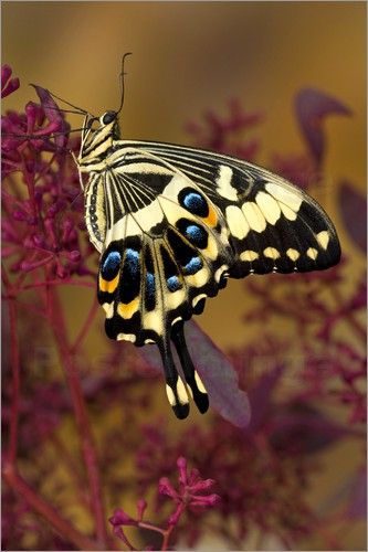 "Emperor Swallowtail ~ Miks' Pics ""Butterflies and Moths l"" board @ http://www.pinterest.com/msmgish/butterflies-and-moths-l/"