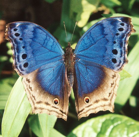 The Blue Mother-of-Pearl or Eastern Blue Beauty(Protogoniomorpha temora), is a butterfly in the Nymphalidae family. It is found in Nigeria, Cameroon, the Republic of Congo, Angola, the Central African Republic, the Democratic Republic of Congo, Uganda, Tanzania, Kenya, Sudan and Ethiopia. The habitat consists of dense forests and riverine thicket.