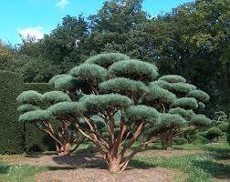 pinus sylvestris 39 watereri 39 other names scots pine 39 watereri 39 glauca nana genus pinus variety. Black Bedroom Furniture Sets. Home Design Ideas