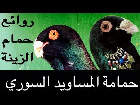 هل تعرف حمام المساويد السوري متع عيونك أجمل أنواع حمام الزينه والحمام الشامي مساوييد Youtube Parrot Bird Animals