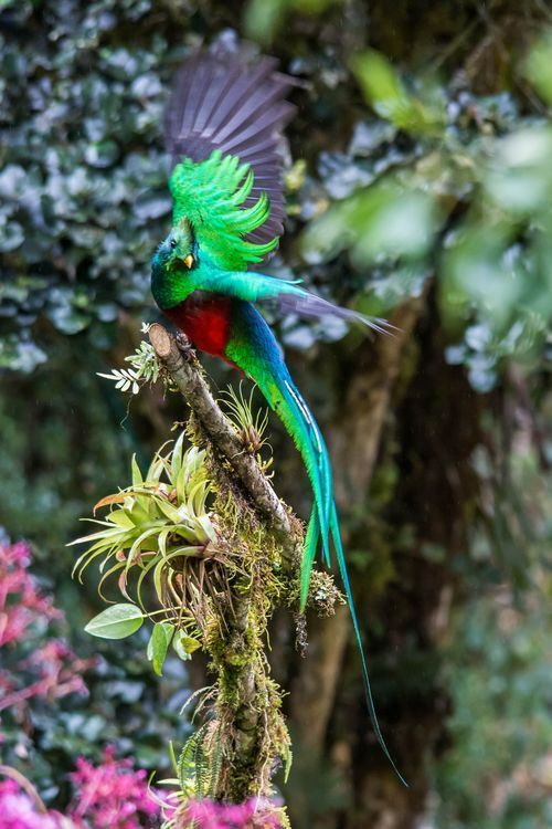 A stunning Resplendent Quetzal about to take off at the highlands of Costa Rica.  Quetzal Resplandeciente Resplendent Quetzal  (Pharomachrus mocinno)  Cerro de la Muerte, San José, CR  © Mauro Roman Nature Photo