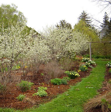 Amelanchiers in full bloom in the spring at Spring Valley Roses.