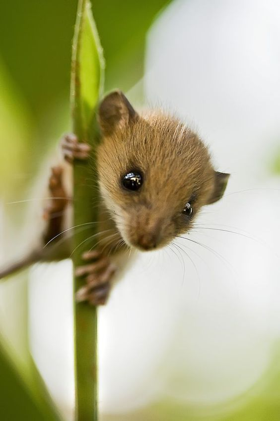 Cute Baby Field Mouse Diet