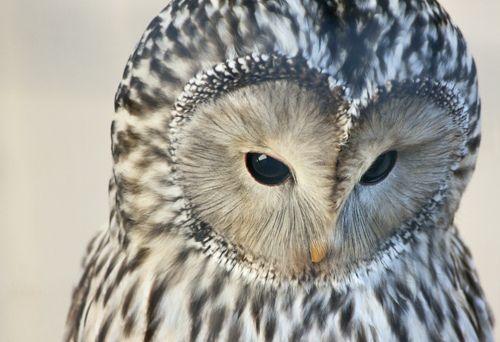 Ural Owl :