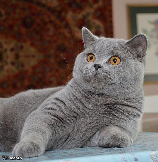 Don T Look At Me Like It S Christmas Eve And I Just Set Fire To An Orphanage Golancat British Sho British Shorthair Kittens Beautiful Cats British Blue Cat