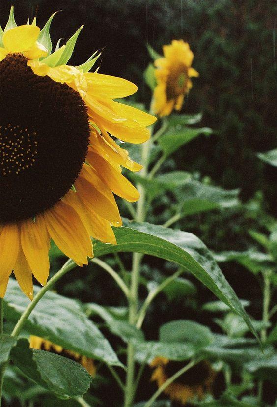Sunflower in the rain (byyubomojao)