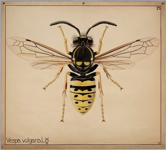 Vespula vulgaris, Wall charts Entomology and Phytopathology-Special Collections Digital Library at Wageningen University and Research Centre