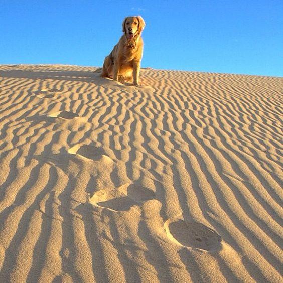 .@trek2ride   King of the dunes! Jaxs loves running the #ImperialDunes. #goldenretriever   Webstagram - the best Instagram viewer