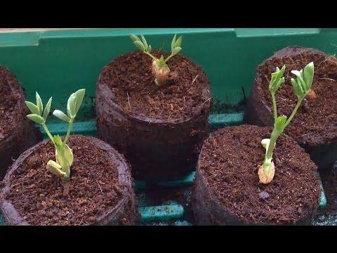 Erdnusse Zum Keimen Bringen Grow Peanut Youtube Erdnusse Pflanzen Pflanzen Keimen