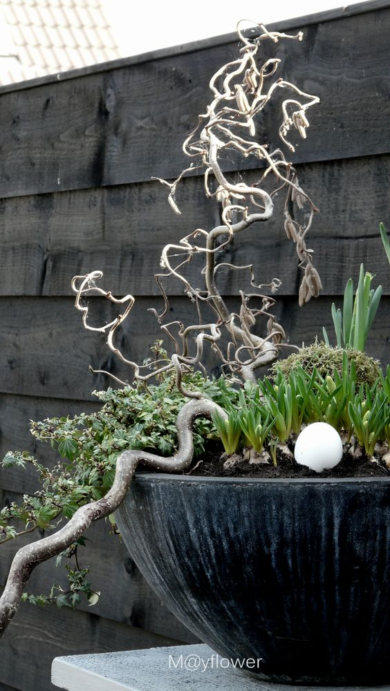 Beautiful Spring container with contorted hazel, nest, ivy & spring bulbs! Could do this in my bowl on the plinth!