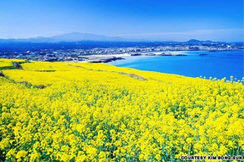 Bãi biển Hamdeok với bờ biển xanh ngọc và các cánh đồng hoa cải vàng rực