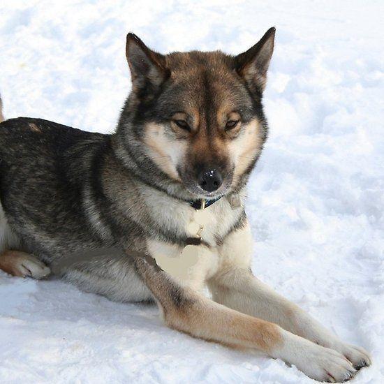 Siberian Husky Agouti Full Husky
