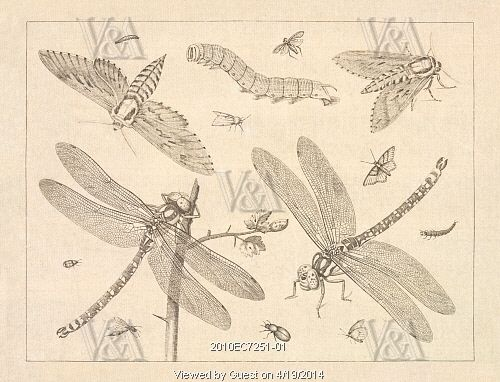 Moths, caterpillar and dragonflies. London, England, late 18th century