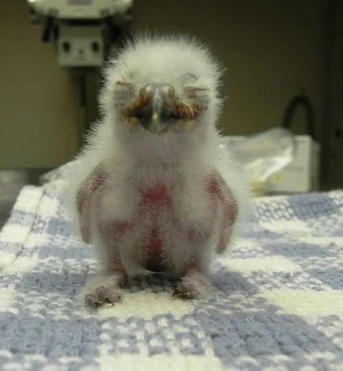 Three Baby Burrowing Owlets Hatched at ZooAmerica - ZooBorns