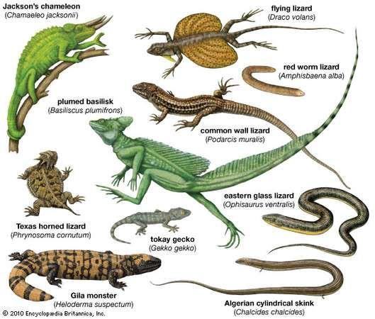 Lizard Reptile Britannica Com Lizard Species Lizard Reptiles
