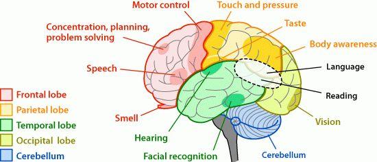 eloquent cortex diagram eloquent database wiring diagram schematics 0e86359c2be9fb0c074abd74ee8ce134