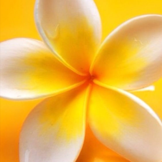 This makes me think Hawaii!: Favorite Color, Happy Colors, Beautiful Flowers, Tropcal Flowers, Hello Yellow, Yellow Happy