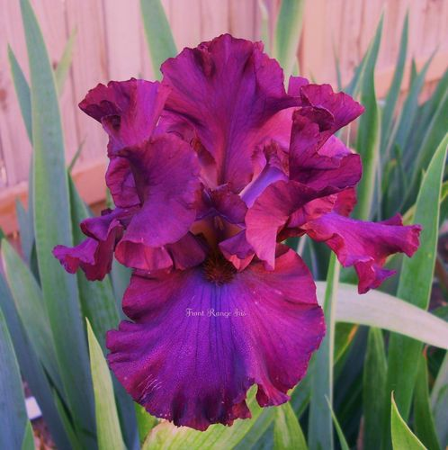 Candy Apple Classic Tall Bearded Iris | eBay