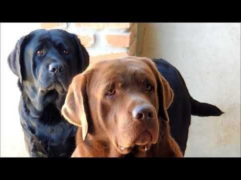 Labrador Retriever Puppies Quebec Labradores Assistindo Tv