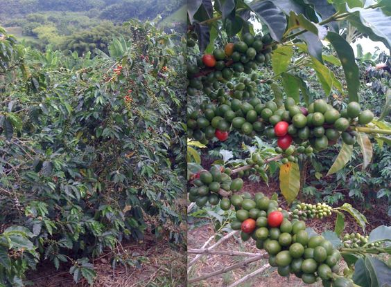 Colombian coffee trees from Armenia, Colombia