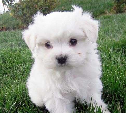 Image Detail For 12 Weeks Old Maltese Puppies Singapore Animals