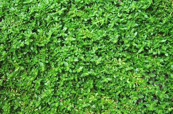 Herniaria Glabra Green Carpet Rupturewort Drought