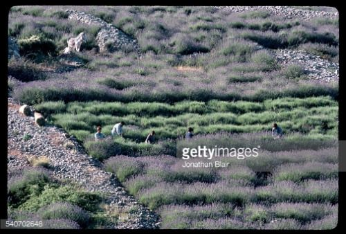 Workers harvest lavender blooming in a hillside field in Veliko... #velikoubeljsko: Workers harvest lavender blooming in a… #velikoubeljsko