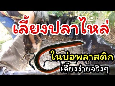 เล ยงปลาไหลง ายๆในบ อพลาสต กดำ By เกษตรกรอ นด Youtube กบ ส ตว เล ยง ก ง