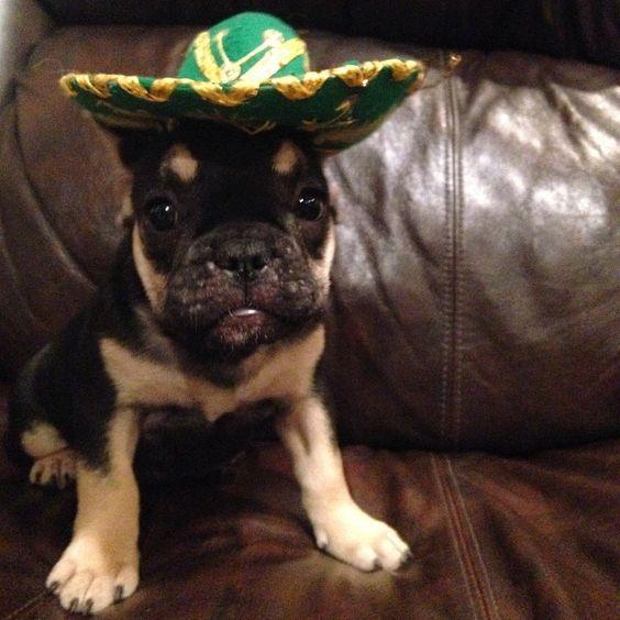 Soufflé wearing her sombrero for Cinco De Mayo! #sensationalbulldogs  #Padgram