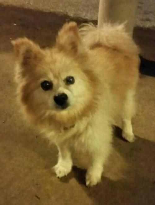 Lady Is An Adoptable Pomeranian Searching For A Forever Family