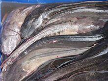 Walking catfish - Wikipedia, the free encyclopedia