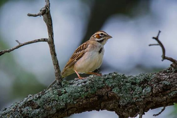 Funny little sweet face Lark Sparrow in Austin, Texas Photo by Sheen's Nature Photography