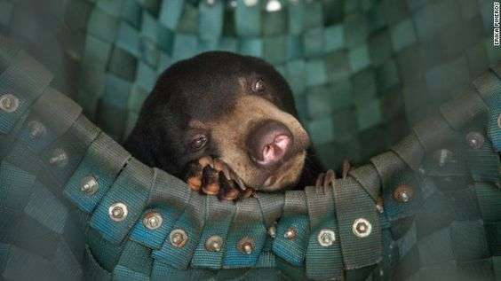 Why Cambodia leads the way in rescuing captive bears