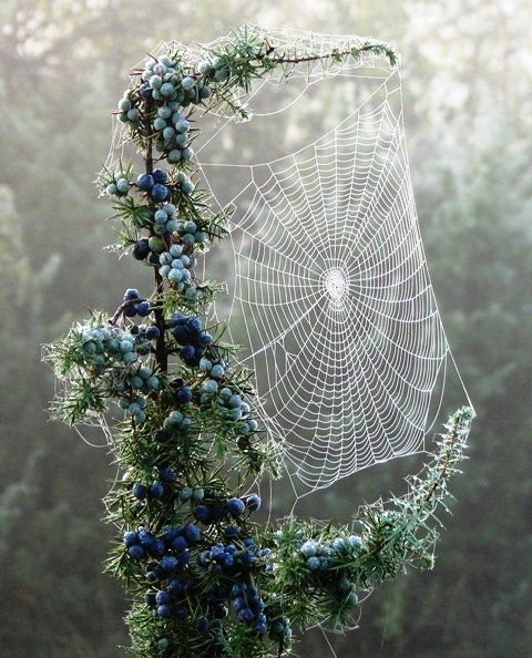 Pine berry spiderweb, Czech Republic